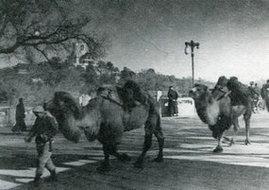 北京城里的骆驼队