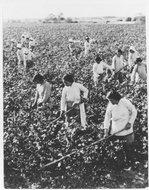 黄渡公社联星生产队社员在棉花田里进行套种